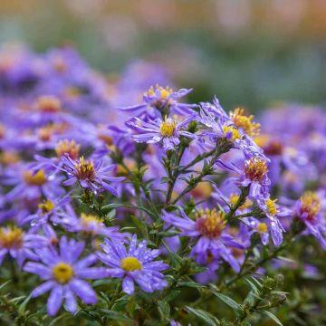 Marguerite d'automne