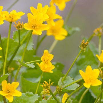 Waldsteinia, Pack de 8