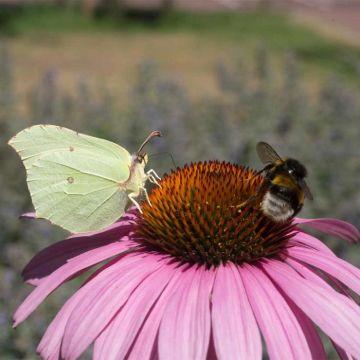 Echincée pourpre blanc 'Echinacea purp. 'Magnus' BIO