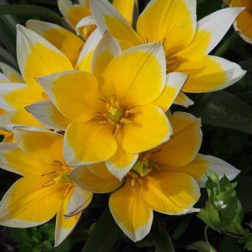 Tulipe 'Tarda'