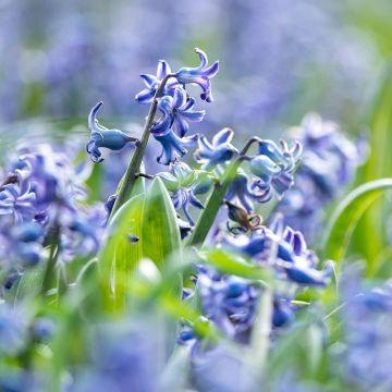 Jacinthe des bois bleue 10 pièces