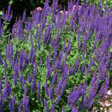 Salvia nemorosa 'Ostfriesland' (10 plants)