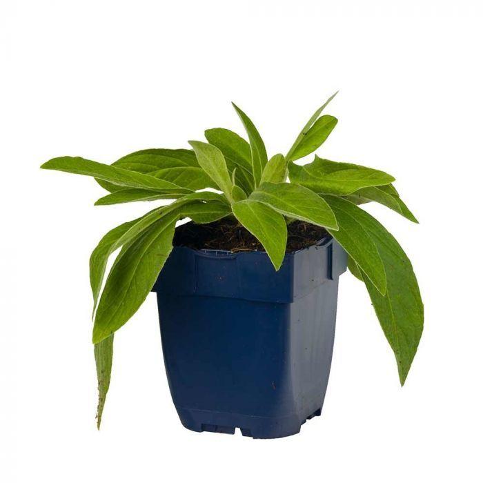 Bleuet des montagnes 'Grandiflora' BIO