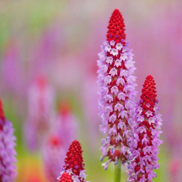Orchid Primrose
