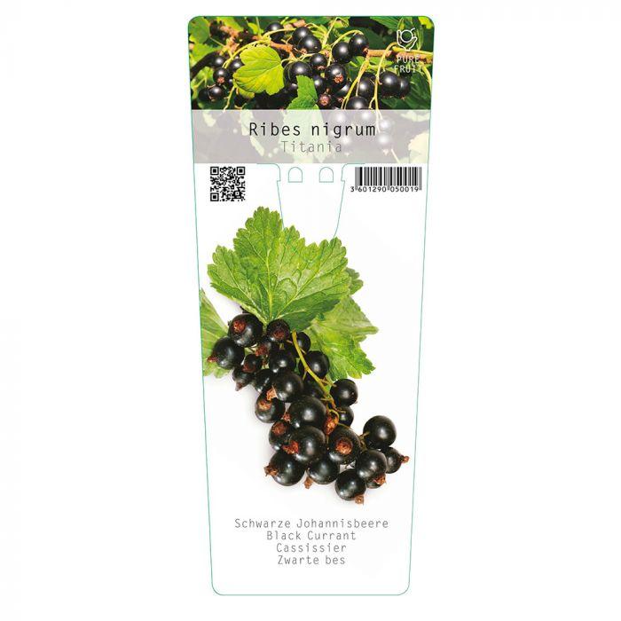 Cassissier (Ribes nigrum 'Titania')