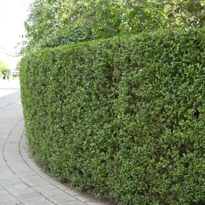Oval Leaf Privet