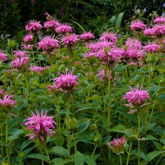 Bergamote Monarda 'Croftway Pink'