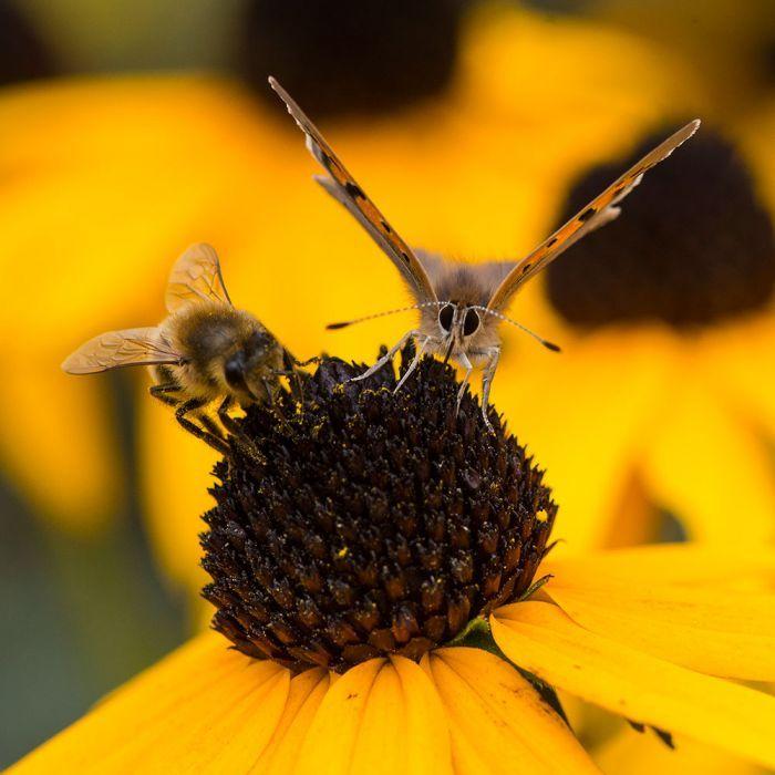 Echinacée jaune 'Rudbeckia fulgida Goldsturm'