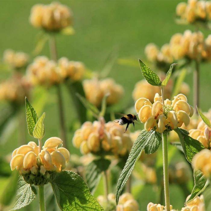 Sauge de Jérusalem Phlomis de Russel (Phlomis russeliana)