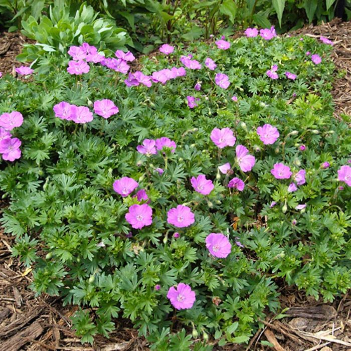 Bec de Grue (Geranium sanguineum) Pack de 8