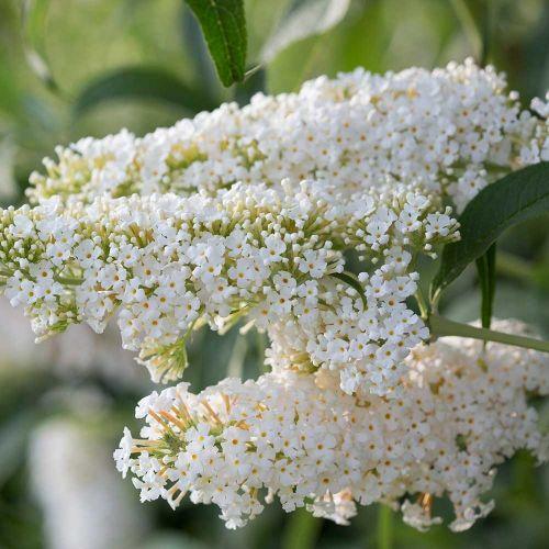 Buddleia 'Dart's ornamental White'