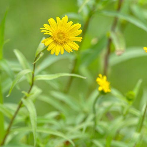 Oeil de boeuf (Buphthalmum salicifolium)