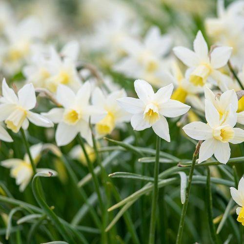 Narcisse 'Sailboat' 10 pièces