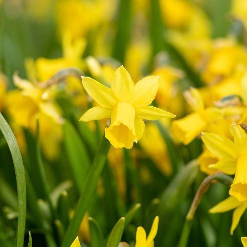 Narcisse 'Tête à Tête'  10 pièces