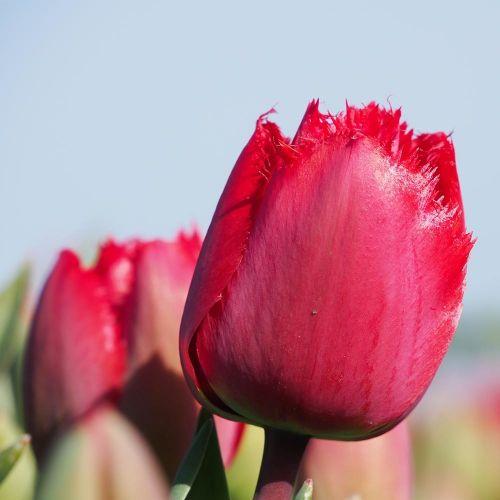 Tulipe 'Masterpiece' 10 pièces