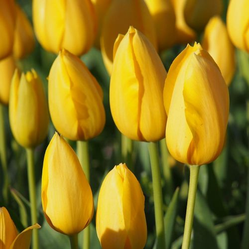 Tulipe 'Muscadet' 10 pièces
