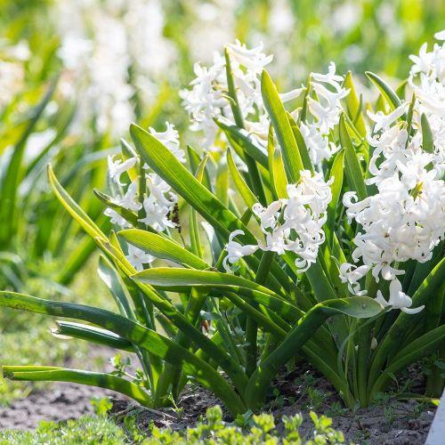 Jacinthe des bois blanche 10 pièces