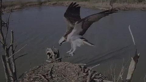 Webcam balbuzard pêcheur