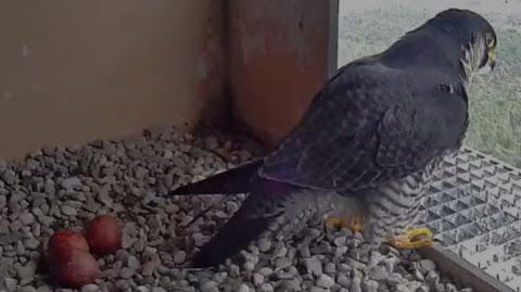 Webcam faucon pèlerin