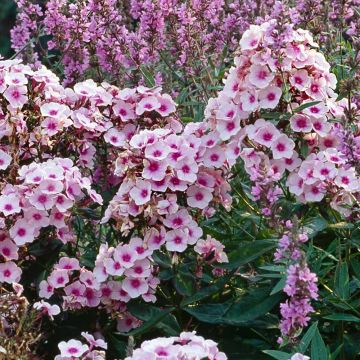 Phlox Paniculé 'Bright Eyes'