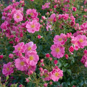 Bijenweelde® rose