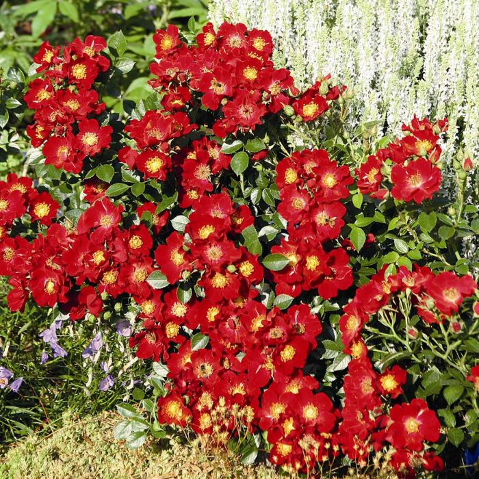 Bijenweelde® rouge